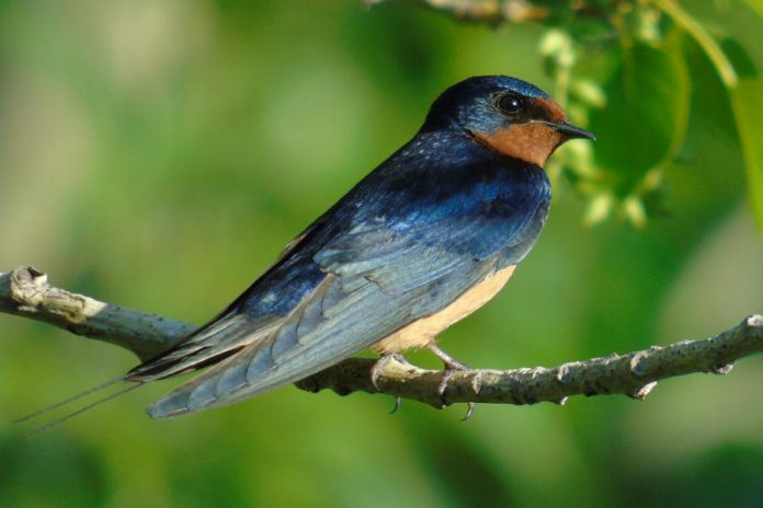 Wetlands provide essential habitat for many endangered and at-risk species such as the Barn Swallow (Hirundo rustica), currently listed as threatened under both the provincial Endangered Species Act and the federal Species at Risk Act. (Photo: Heather Polan)