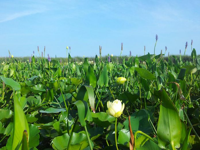 In addition to being beautiful, wetland vegetation like lillies and pickerel weed provide critical nursery habitat for fish, breeding habitat for waterfowl, and help purify the water. (Photo: Courtney Robichaud)