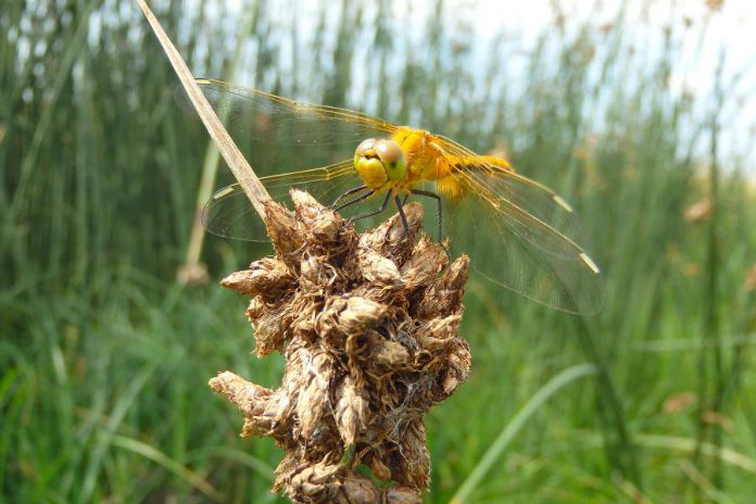 Dragonflies like this Meadowhawk are common sights at marshes, where they help control mosquito populations. (Photo: Rebecca Rooney)