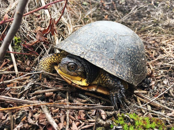 Wetlands provide essential habitat for many endangered and at-risk species such as the Blanding's Turtle (Emydoidea blandingii), currently listed as threatened under both the provincial Endangered Species Act and the federal Species at Risk Act.  (Photo: Leif Einarson)