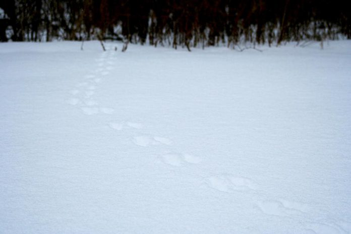 Winter is a great time to find wildlife tracks like these grey squirrel tracks found in GreenUP's Ecology Park. Take a photo and use apps like iNaturalist to help you identify the animal that created them.  (Photo: Karen Halley)