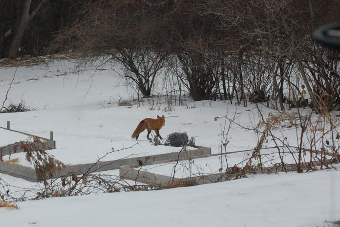 Red foxes share our urban neighbourhoods. Keep your eyes peeled for their startingly bright red coat as these timid creatures are fast. Learn more about them on inaturalist.org. (Photo: Jackie Donaldson)