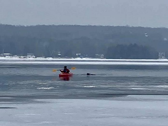Rob heads out in his kayak to rescue a deer that had fallen through the ice on Lower Buckhorn Lake. (Photo: Shelley Fine / Facebook)