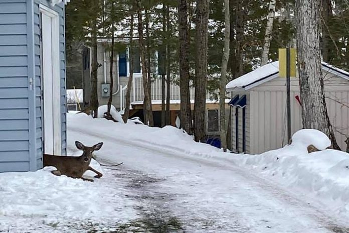 After sleeping for three hours, the deer woke up and took off into the woods. (Photo: Shelley Fine / Facebook)