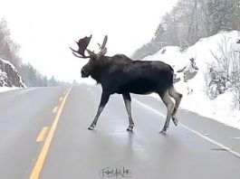 A video of a moose crossing a highway in Algonquin Park by Jesse Villemaire and Susan Brown of Follow Me North Photography was our top post on Instagram in 2020. (Screenshot of video by @followmenorth / Instagram)
