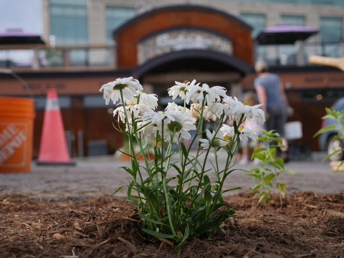 In summer 2019, Peterborough GreenUP's Depave Paradise program and the Downtown Vibrancy Project planted a new garden at Euphoria Wellness Spa in downtown Peterborough. When impermeable asphalt is replaced by greenspace, it allows for water infiltration, reduces flooding and runoff, and creates much more inviting space. (Photo courtesy of GreenUP)