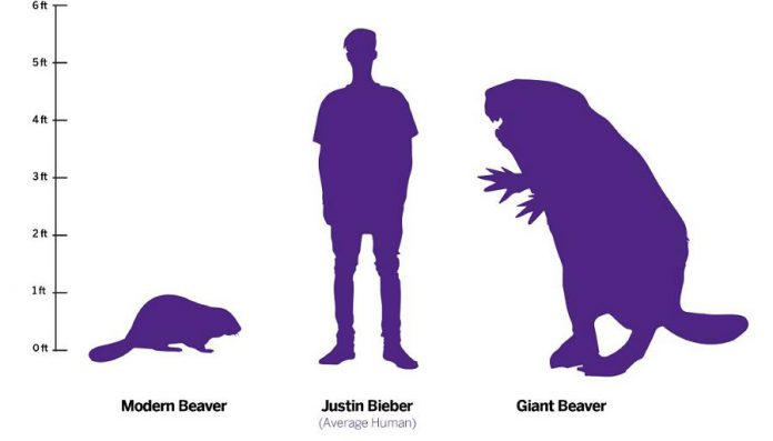 Beaver versus Bieber: a modern beaver, a human, and a giant beaver. (Illustration: Scott Woods / Western University)