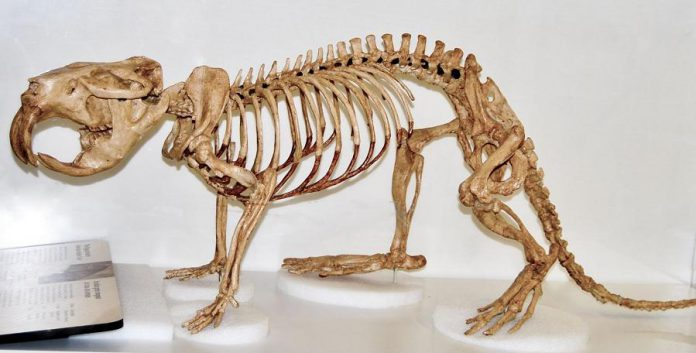 A skeleton of a giant beaver at the Canadian Museum of Nature. Paleontologists have found giant beaver bones and teeth from Ohio to southern Ontario to the Yukon Territory. (Photo: Western University)