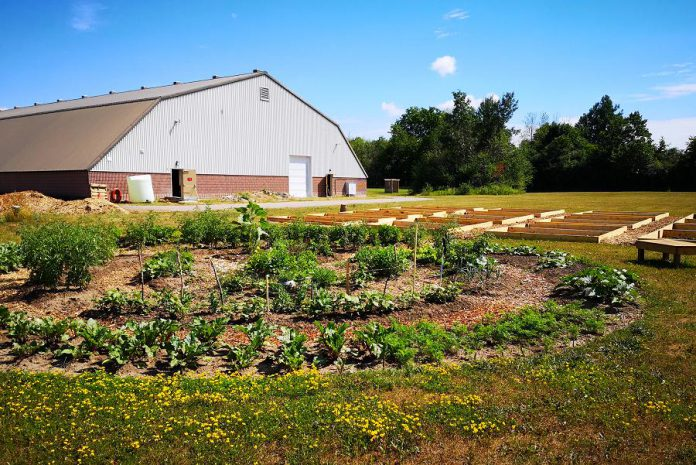 Sheet Seven Community Garden, located behind the Peterborough Curling Club at 2195 Lansdowne Street West, in July 2020 with raised garden beds under construction. Allotment plots of various sizes are now available with annual fees from $35 to $125 depending on the size. (Photo courtesy of Pauline Orpwood / Peterborough Curling Club)