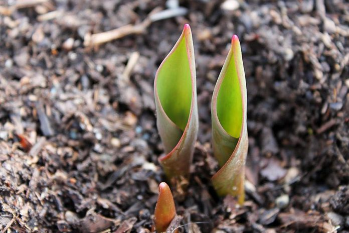 Spring tulips. (Stock photo)
