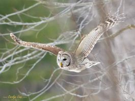 This photo of a barred owl in flight in the Kawartha Lakes by Carolyn Camp Images was our top Instagram post in March 2021 with more than 15,700 impressions. (Photo: Carolyn Camp Images @ccamp.images.art / Instagram)