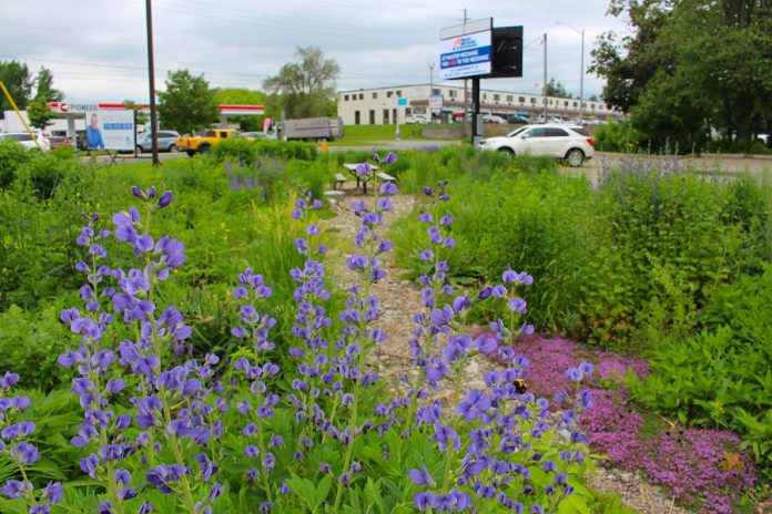 A partnership between GreenUP and Green Communities Canada, this Depave Paradise project in the Kawartha Heights neighbourhood of Peterborough replaced impermeable asphalt with a rain garden. (Photo:  Karen Halley / GreenUP)