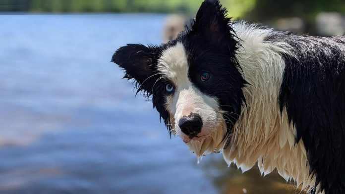 Cait, a water-obsessed border collie in the Kawarthas, developed hyponatremia (commonly known as water intoxication or water poisoning) after ingesting too much water. Although rare, hyponatremia can lead to serious complications including death if not recognized and treated quickly. (Photo: Bruce Head / kawarthaNOW.com)
