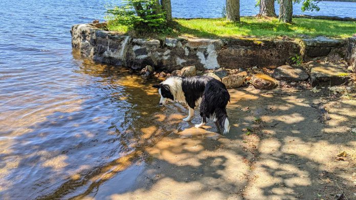 Border collie Cait loves to swim and is obsessed with waves. (Photo: Bruce Head / kawarthaNOW.com)