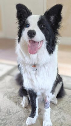 Border collie Cait back home and fully recovered after an overnight stay at the vet, where she received intravenous fluids to restore her electrolyte balance after developing  hyponatremia from ingesting too much water. (Photo: Bruce Head / kawarthaNOW.com)