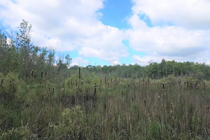 Now protected in perpetuity by Kawartha Land Trust, the Jones Wetland in Kawartha Lakes has significant natural features and habitats including mixed swamp, cattail and willow marsh, and an upland forest dominated by white ash, sugar maple, and basswood trees. (Photo courtesy of Kawartha Land Trust)