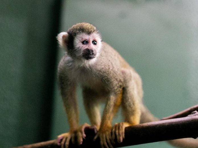 A squirrel monkey at the Riverview Park and Zoo in Peterborough. (Photo: Riverview Park and Zoo)