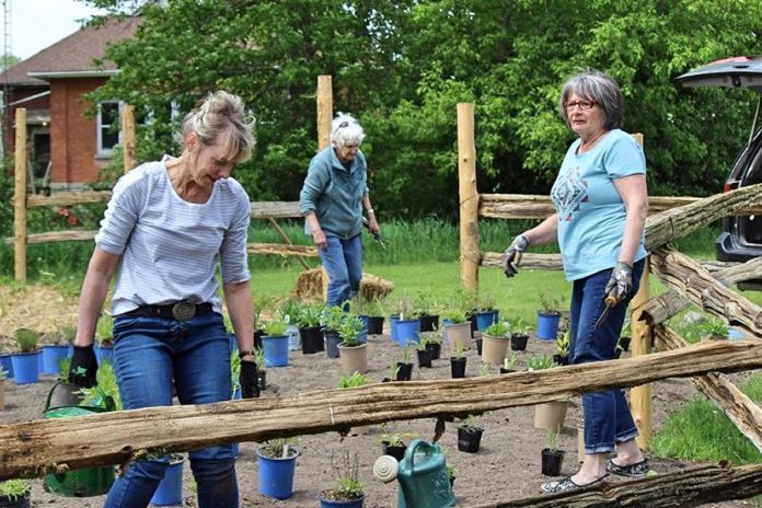Volunteers Sue Kucher, Shelley McNamara, and Linda Reeds on planting day in May 2021 at the pollinator garden at Reaboro Park in Reaboro. All plants in the garden were purchased from Green Side Up Environmental Services and Landscaping in Omemee. (Photo: Elayne Windsor)