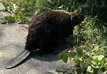 Peterborough resident Eileen Kimmett had a close encounter with a busy beaver on the trail in Jackson Park. The beaver, which was harvesting a branch from a downed tree, went about its business while Eileen captured some video and photos. (Photo: Eileen Kimmett / Facebook)