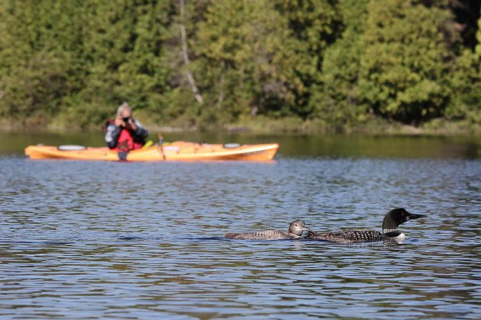A volunteer citizen scientist monitoring loon productivity for Bird Canada's Canadian Lakes Loon Survey. The survey has found a decline in the number of loon chicks raised to independence over the past three decades. (Photo: David Gignac)