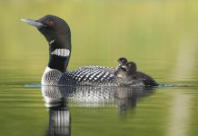 A common loon (gavia immer) with two babies. Using 40 years' worth of obervations submiited by citizen scientists to Birds Canada, the Canadian Lakes Loon Survey has confirmed loons are experiencing mysterious declines in the number of chicks surviving to adulthood across southern Canada. (Photo: Mark Peck)