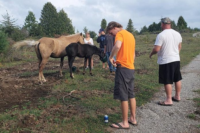 Members of the Edwards family with palomino mare Calypso with her 10-week-old daughter, who were found at their property a week after going missing from the Chambers' farm in Douro-Dummer Township on August 22, 2021. Despite an extensive search, the Chambers has been unable to find the horses until they were found on the Edwards' property, located three kilometres to the southeast. (Photo courtesy of Carol Edwards)