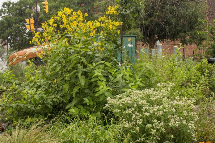 Cup plant, dogwood, and other water-loving and drought-tolerant native plants soak up the rain at the rain garden in the Jiimaan'ndewemgadnong Pocket Park in downtown Peterborough. (Photo: Geneviève Ramage)
