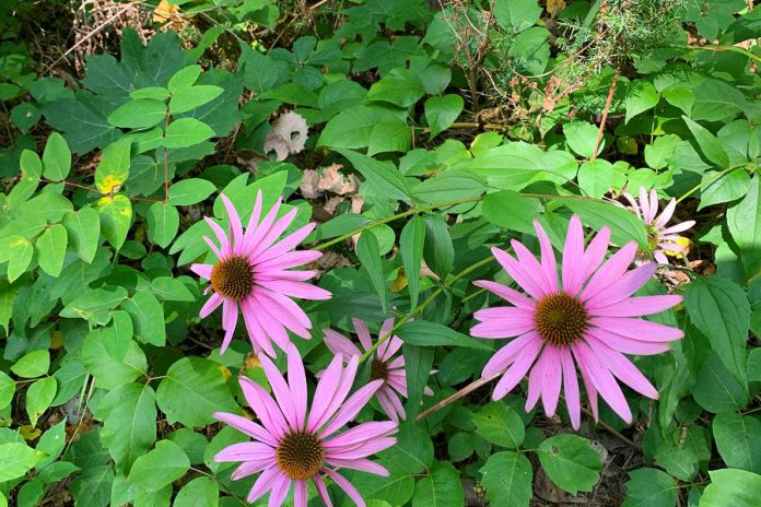Wildflowers are common along the proposed trail network, such as the eastern purple coneflower (echinacea purpurea), a native species of flowering plant in the sunflower family. (Photo courtesy of Kawartha Land Trust)