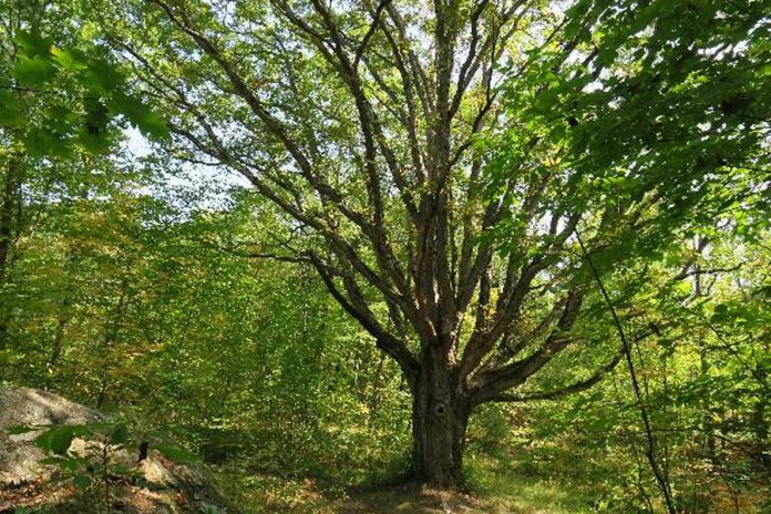 The white oak can grow to be more than 35 metres tall and can live for several hundred years. Birds, squirrels, and other animals eat acorns from the white oak. Wood from the white oak is waterproof, so it's used to make barrels for storing liquids. The Vikings also used the white oak for their ships due to its strength.  (Photo courtesy of Kawartha Land Trust)