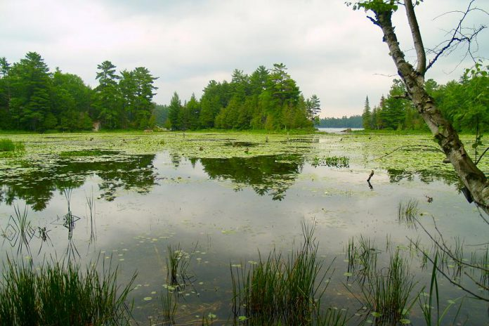 More than 20 per cent of Ontario's species at risk rely on wetlands for survival. Southern Ontario has lost more than 70 per cent of its wetlands, with losses increasing to 85 per cent in southwestern Ontario, Niagara, Toronto and parts of eastern Ontario.  (Photo courtesy of Kawartha Land Trust)