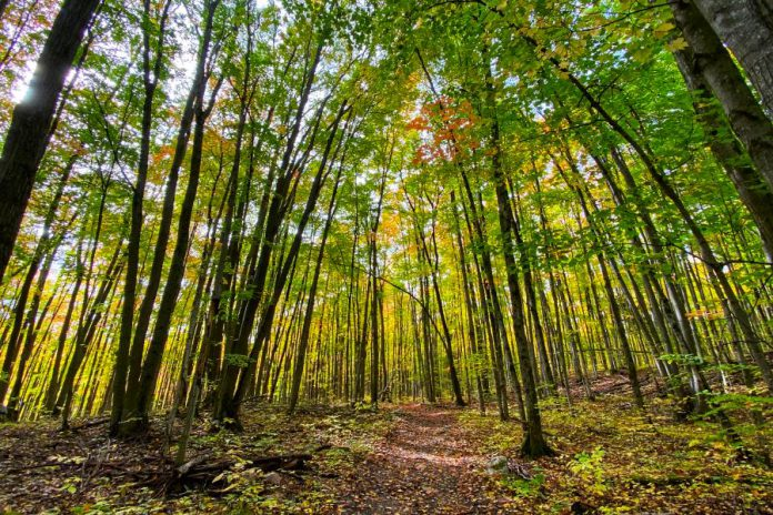 On the proposed trail network, hikers would pass under lush forest canopies and walk past endangered butternut trees while listening for the unmistakable call of the eastern wood-pewee. (Photo courtesy of Kawartha Land Trust)