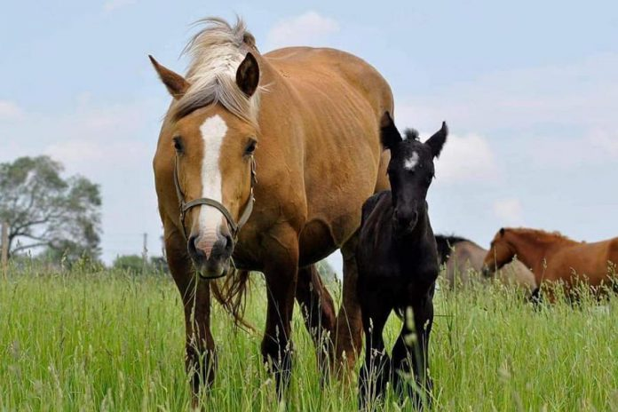 Calypso, a 12-year-old palomino mare, and her 10-week-old foal have been missing since August 22, 2021. The horses, who had been at the Chambers' 200-acre farm on Forbes Lane south of Hall's Glen for less than a week, went over a stone fence and haven't been seen since, despite an intensive week-long search. (Photo: Jenny Chambers / Facebook)