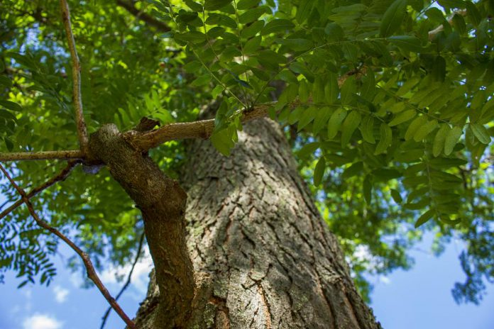 The honey locust (like this mature tree at GreenUP Ecology Park) is relatively tolerant of road salt, making it a better choice for locations beside roads, and also provides dappled shade, which is important if you're planting it near a garden. (Photo: Geneviève Ramage)