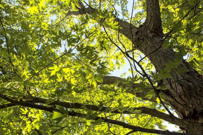 Silver maples may look small when you take them home from the Ecology Park Nursery, but they grow into gorgeous giants 25 metres in height. Planting a silver maple too close to a building or under utility lines will end up costing you misery and money. (Photo: Geneviève Ramage)