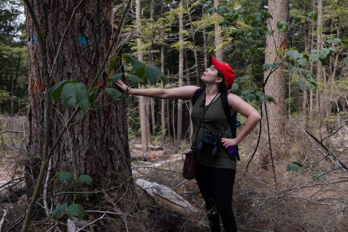 Katie Krelove, an Ontario campaigner for the BC-based Wilderness Committee, examines an eastern hemlock tree in the Catchacoma Forest in northern Peterborough County.  The Bancroft Minden Forest Company holds the sustainable forest license to manage the Crown Land within the area, and is responsible for developing a 10-year forest management plan that is ultimately approved by the Ministry of Northern Development, Mines, Natural Resources and Forestry. (Photo courtesy of Mitch Bowmile)