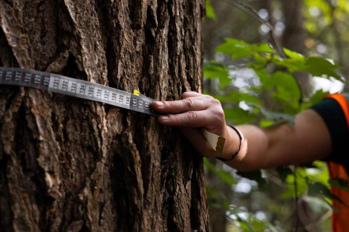 Size can be an indicator to identify an old-growth tree, but age is ultimately the determining factor. The most effective way to determine the age of a tree is by taking a coring sample using a tool called an increment borer and count its rings. Eastern hemlocks, which can live up to 600 years, are often overlooked as old-growth trees because they grow slowly and their trunks may not be that large. (Photo courtesy of Mitch Bowmile)